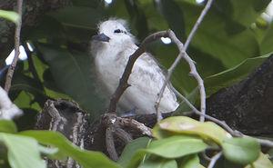 Gygis blanche