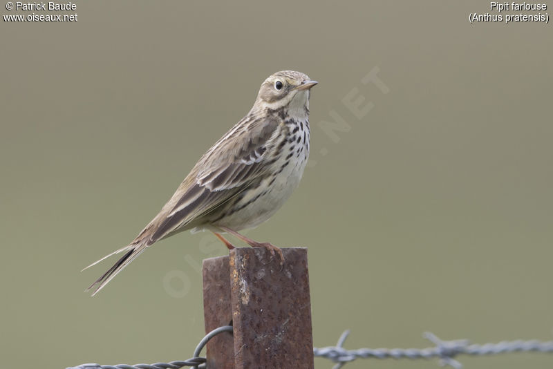 Pipit farlouse , identification