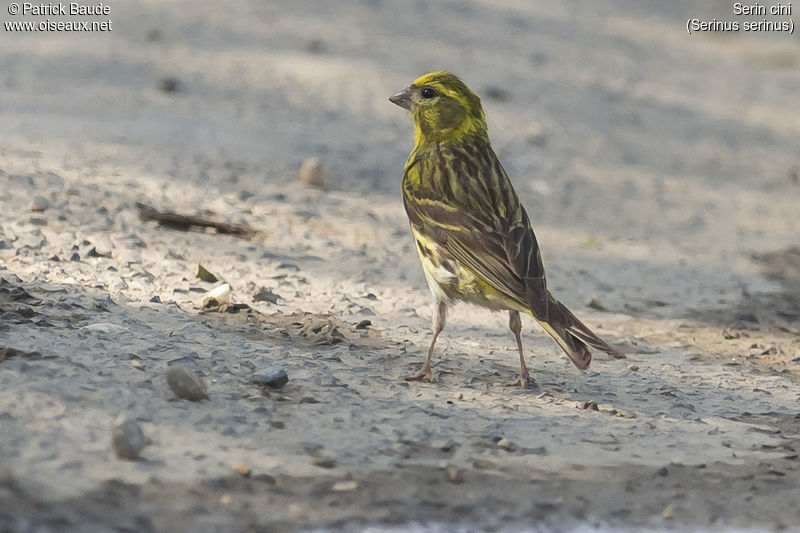 Serin cini mâle adulte, identification