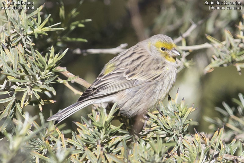 Serin des Canaries , identification