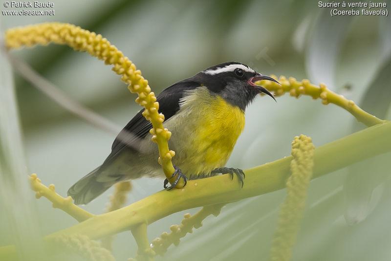 Sucrier ventre jaune ref paba205501 for Oiseau ventre jaune