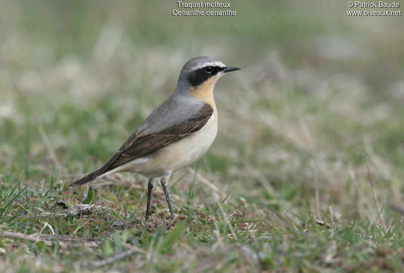 Northern Wheatear male adult