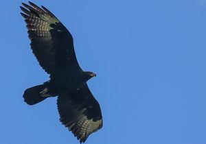Aigle de Verreaux