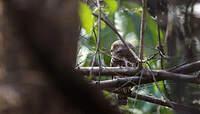 Chevêchette cuculoïde