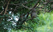 Chevêchette de jungle