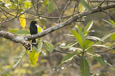 Drongo du Sri Lanka