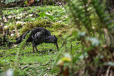 Ibis caronculé