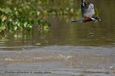 Martin-pêcheur à ventre roux