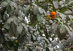 Oriole à dos orange