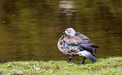 Ouette à ailes bleues