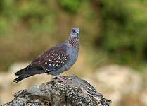 Pigeon roussard