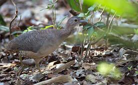 Tinamou vermiculé