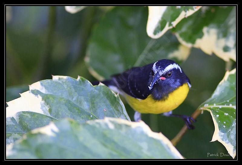 Sucrier ventre jaune ref pado41417 for Oiseau ventre jaune