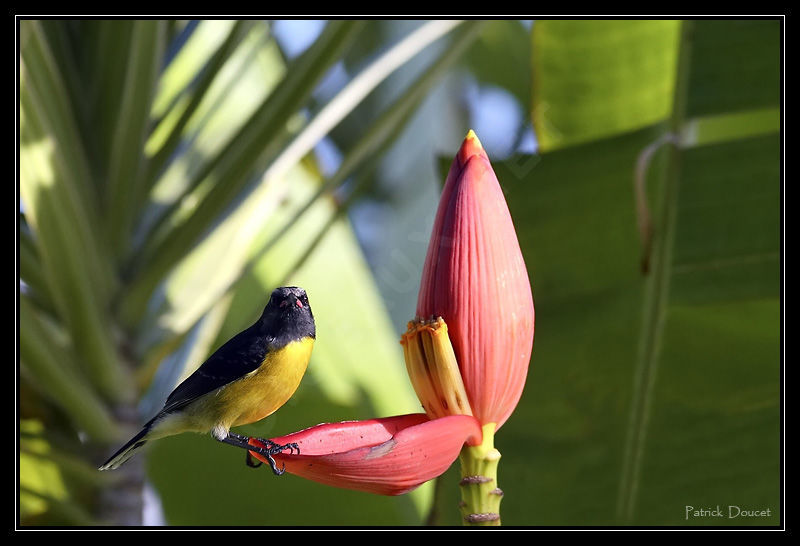Sucrier ventre jaune ref pado41418 for Oiseau ventre jaune