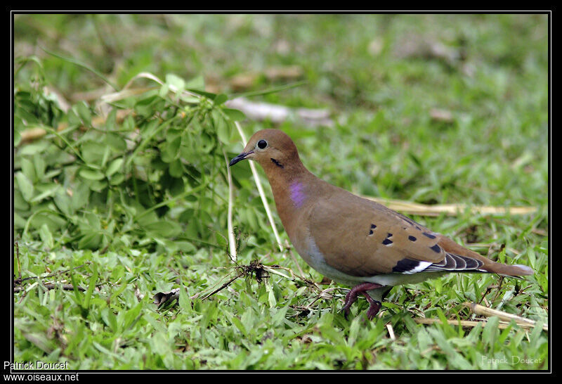 zenaida dove - photo #35