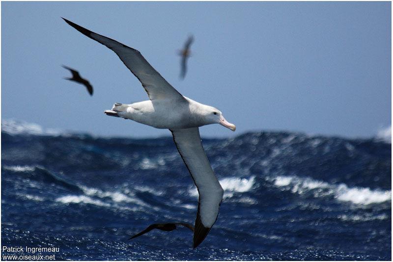Albatros - Procrastination IIV
