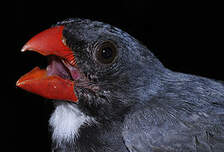 Cardinal ardoisé
