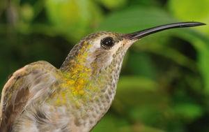 Colibri guaïnumbi
