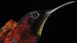 Colibri topaze