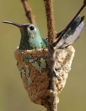 Colibri tout-vert