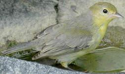 Conirostre bicolore