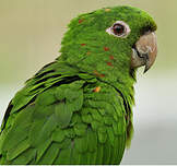 Conure pavouane