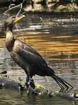 Cormoran à aigrettes