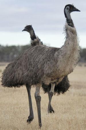 Émeu d'Australie