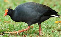 Gallinule sombre