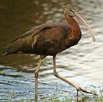 Ibis falcinelle