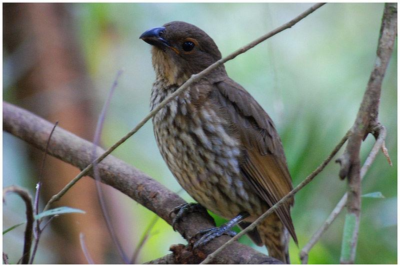 Tooth billed bowerbird scenopoeetes dentirostris male for L oiseau jardinier