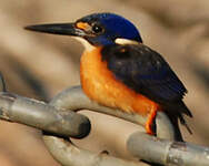 Martin-pêcheur à dos bleu