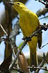 Méliphage jaune