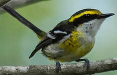 Monarque à poitrine jaune