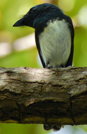 Monarque mélanésien