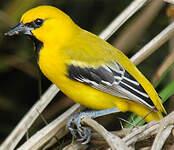 Oriole jaune