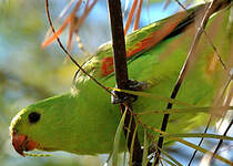 Perruche érythroptère