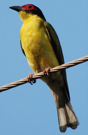 Galerie patrick ingremeau classement alphab tique for Oiseau ventre jaune
