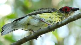 Sphécothère à ventre jaune