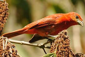 Tangara orangé
