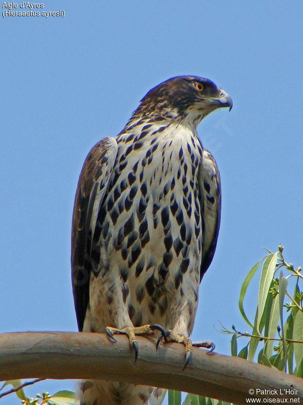 Ayres hawk eagle
