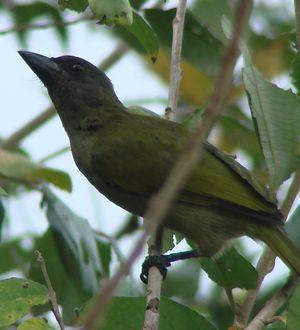 Barbican olivâtre