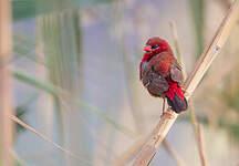 Bengali rouge