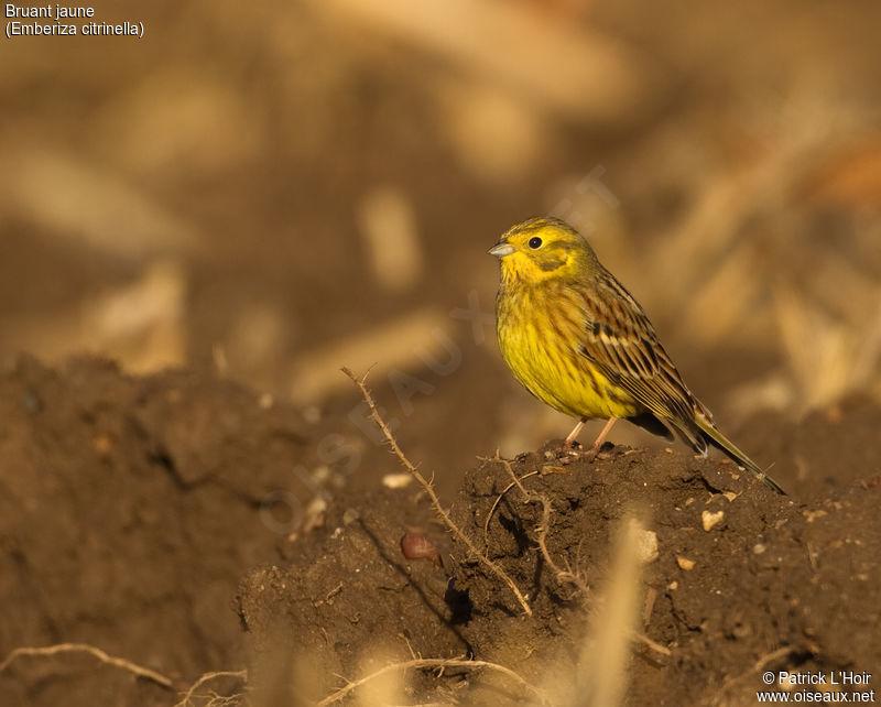 Photos des oiseaux de france page 411 for Oiseau jaune france