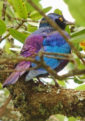 Choucador à queue violette