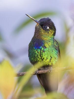 Colibri insigne