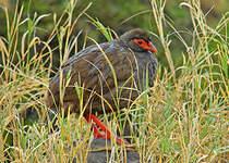 Francolin à gorge rouge