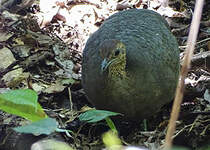 Grand Tinamou