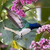 Colibri jacobin