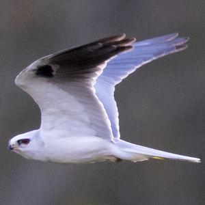 Élanion à queue blanche